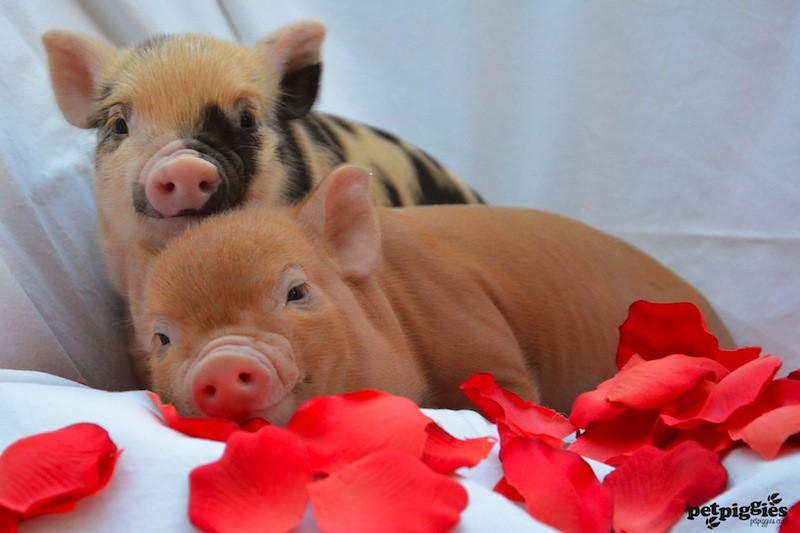 休息中の豚の赤ちゃん
