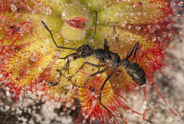 Ant in Drosera