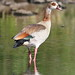 Small photo of Egyptian Goose, Alopochen aegyptiacus in Kruger Park