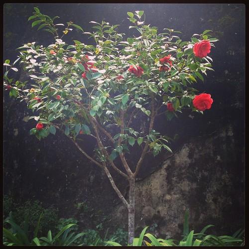 Beautiful Rose tree, Pena Palace, Sintra, Portugal