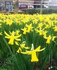 Daffodils - University of Reading