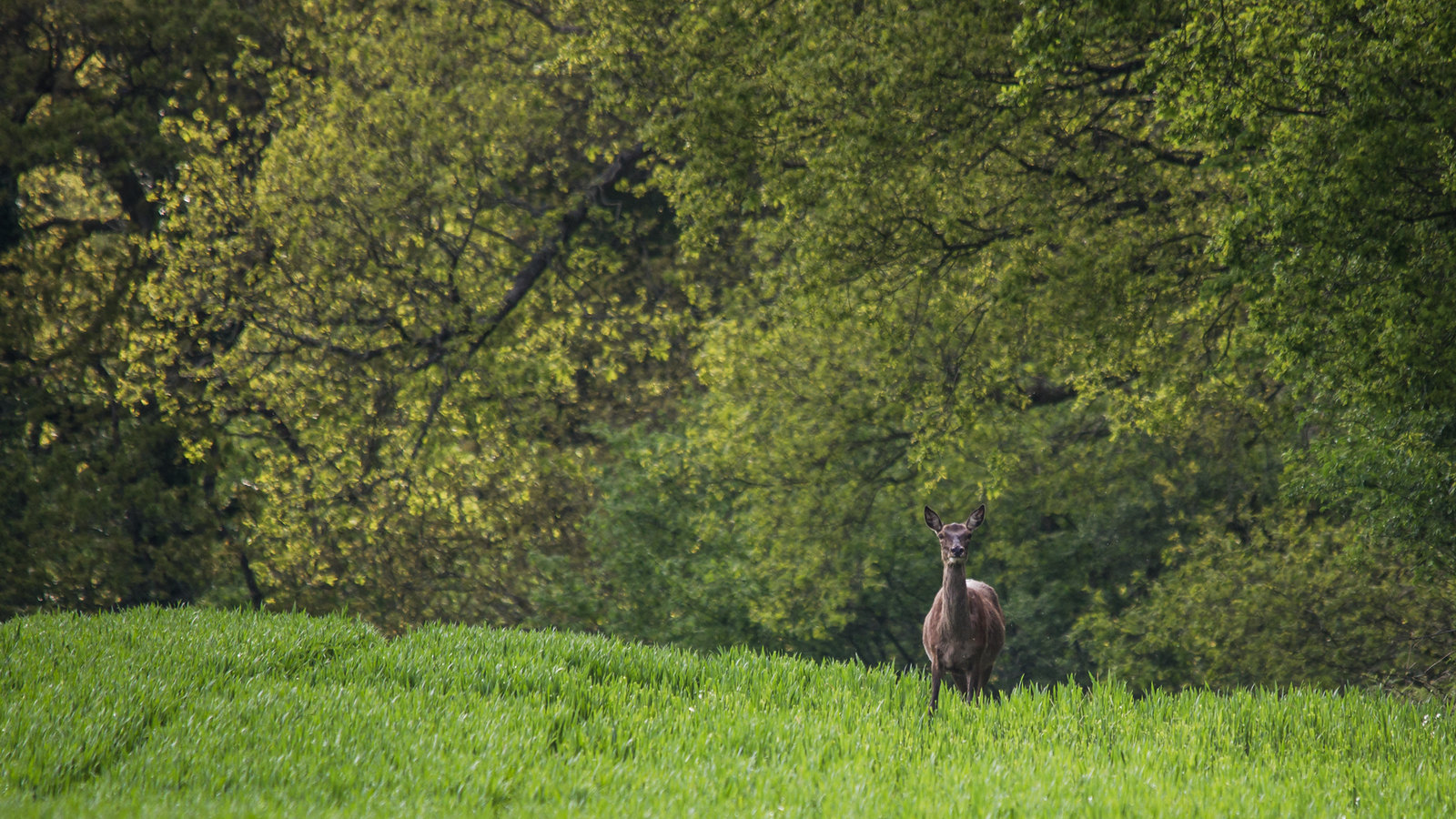 Red Deer Hind Watching Me