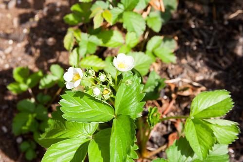 20strawberries.jpg