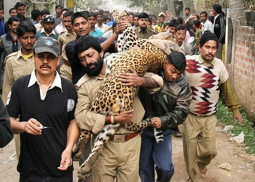 印度森林部官員正搬運一頭被麻醉的雄性成豹,這隻豹當時流浪到印度東北部的一個城市,造成3人受傷。(圖:BIJU BORO/AFP/Getty Images)