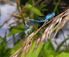 Damselflies in unison