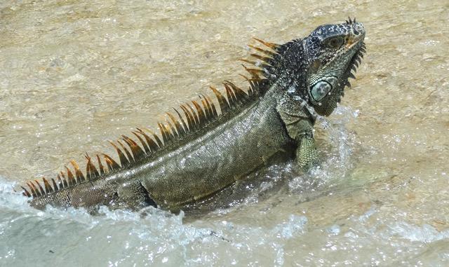 iguana-puerto-vallarta