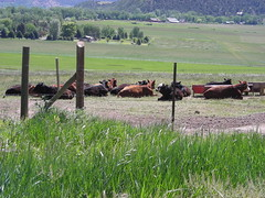 Contented cows on upper west corner of lower pasture