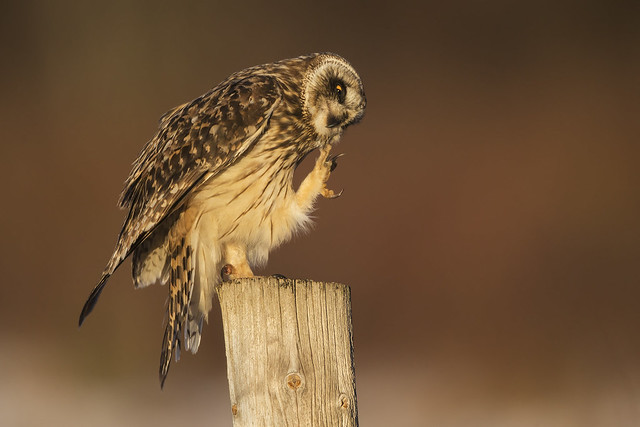 Chin Scratching Short-eared Owl, Canon EOS-1D X, Canon EF 800mm f/5.6L IS