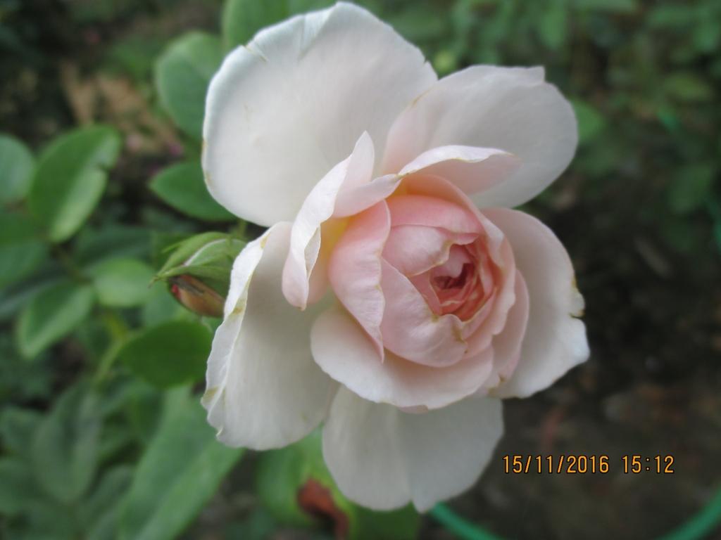 Hoa hong ngoai Gentle Hermione Rose (3)-vuonhongvanloan.com