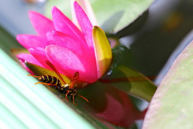 水汲みするアシナガバチ