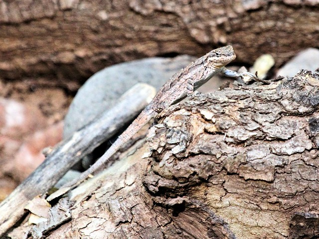 Long-tailed Brush Lizard in Sedona 20130616