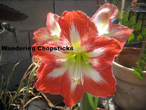 5.24 Pink Night-Blooming Cereuses, Amaryllis, and Tomatoes 13