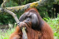 Thinking. Dublin Phoenix Park Zoo, Ireland