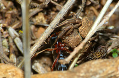 Crab Spider (Xysticus sp.) with Ichneumonid prey (Ephialtes sp.)