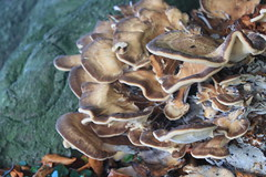 leaf(0.0), auricularia auricula-judae(0.0), auricularia(0.0), shiitake(0.0), autumn(0.0), tree(1.0), medicinal mushroom(1.0), oyster mushroom(1.0), mushroom(1.0), fungus(1.0), agaricomycetes(1.0), hen-of-the-wood(1.0), edible mushroom(1.0),
