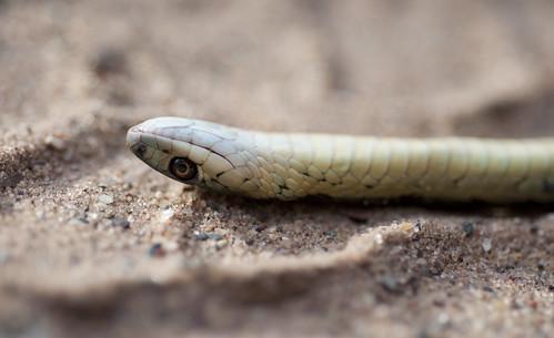 Garter Snake IV