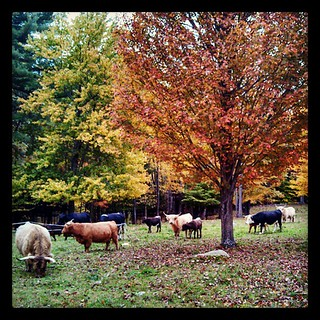 Moo! #highlandcattle #fall #farmanimals #newhampshire