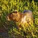 Capybara (Hydrochoerus hydrochaeris) ©berniedup