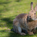 Grasseating bunny on the alert by nemi1968