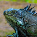 Green Iguana - Photo (c) Marco Parra, some rights reserved (CC BY-NC-ND)