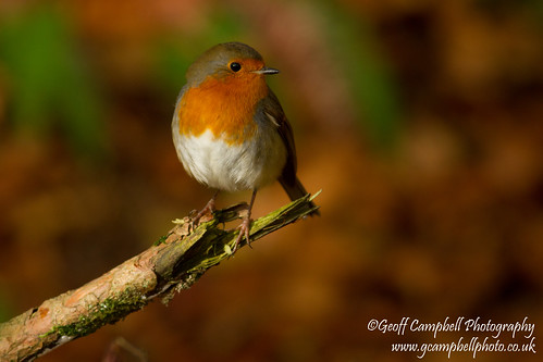 Autumn Reds - Robin in the Beechwood