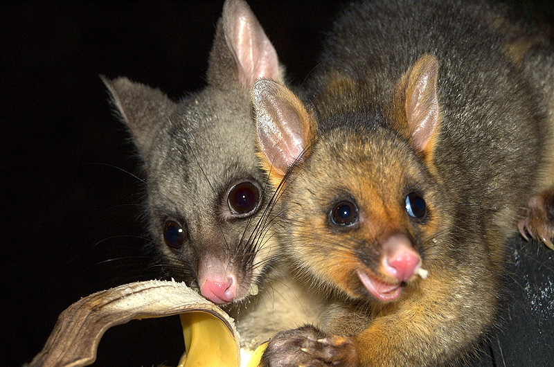 possums_mother_and_child-11