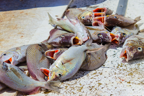 Snapper on the line ready to be cleaned. Merry Pier, Pass-A-Grille on #StPete Beach #Florida