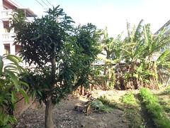 菜園周遭種了芒果、香蕉等果樹。