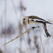 Snow Bunting Catapult by PeterBrannon
