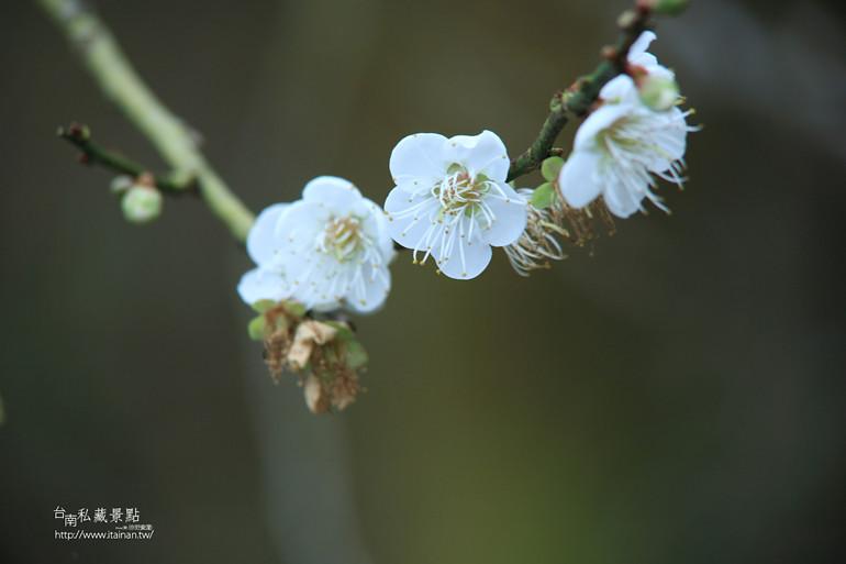 台南私藏景點--梅嶺梅花季  2013 (41)