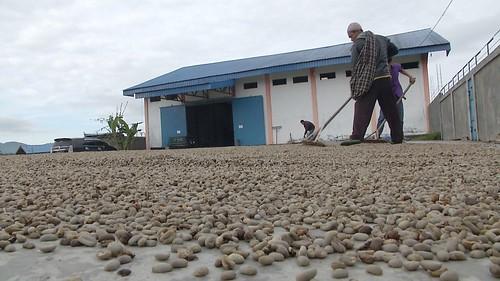 咖啡農的工作,曬咖啡豆。