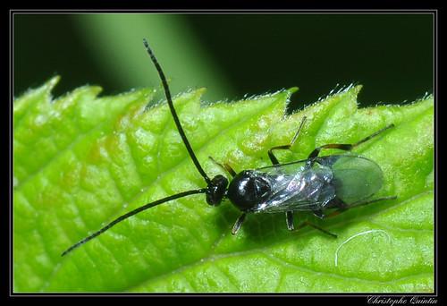 Braconidae/Microgastrinae