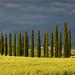 Cypress Tree Lane Panorama by Panorama Paul