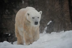 animal(1.0), snow(1.0), polar bear(1.0), polar bear(1.0), mammal(1.0), fauna(1.0), bear(1.0),