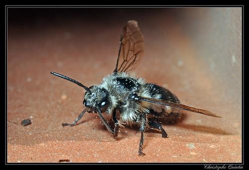 Melecta sp. mâle