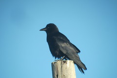 American Crow, 6/12/2013, Glen Burn Campground, Saskatchewan