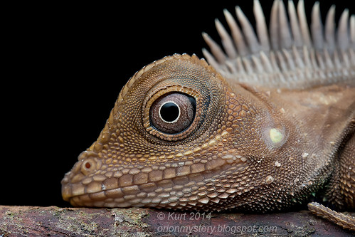 Bell's Anglehead Lizard IMG_6070 copy