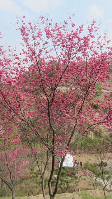 蓝天樱花树手机壁纸唯美