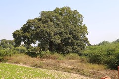 Krishna tree (2)