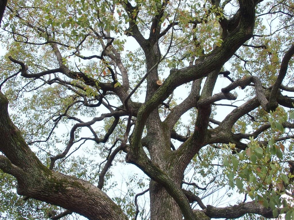 清澄公園 力強い木