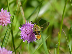 Narrow-bordered Bee Hawkmoth (Hemaris tityus)