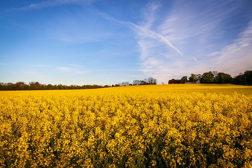 flowers lund field yellow landscape evening countryside europe sweden farm farmland sverige 24mm zweden rapeseed cropland fav10 cloudse asky canoneos5dmarkii ef24mmf14liiusm