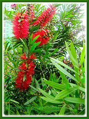 Callistemon citrinus (Red Bottlebrush, Crimson/Lemon Bottlebrush), growing in Genting Highlands Resort