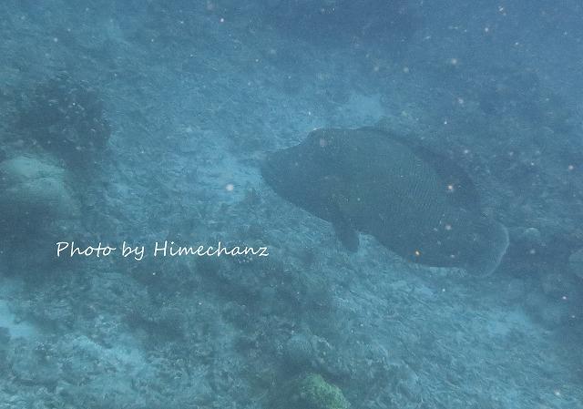 巨大サンゴの周りを巨大ナポレオンフィッシュがウロウロw