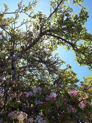 Forgotten fruit tree