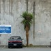 a cabbage tree in a concrete world