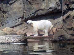 Polar Bear 09-01-2011 2