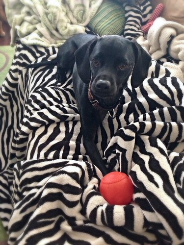 Tripawd with his red ball