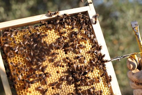 Abelhas, meu mel!