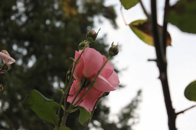 Roses &flowers